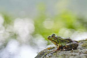 Jost Kühlborn - Frosch