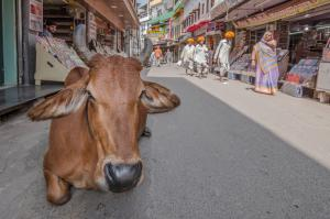 Karlheinz Ludwig - Kuh in Pushkar
